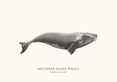 Poster | SOUTHERN RIGHT WHALE von Sam Lyne | more posters at http://moreposter.de