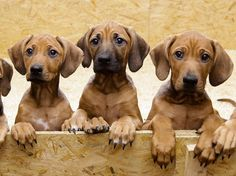 3 distinct colors of Rhodesian Ridgebacks here. Wheaten