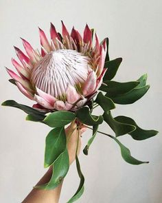 am obsessed with this flower! King Protea, can we have one of these in my bridal bouquet please? Flor Protea, Protea Bouquet, Protea Flower, My Flower, Flower Art, Protea Plant, Flower Images, Motif Floral, Tropical Flowers