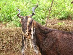 hijazi goat - Google Search
