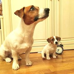 "2,465 Likes, 28 Comments - Jack Russell Daily (@jackrussell_daily) on Instagram: "" Owner: @versaljrt . To be featuredFollow + tag #jackrussell_daily . SHARE this cute photo with…"""