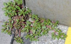 Purslane (Portulaca oleracea) grows commonly as a weed in most gardens. You may also have seen it in your garden. The plant comes from Persia and India and is considered to be weed in many countries and it is discarded along with other weeds and. Portulaca Oleracea, Wild Edibles, Edible Plants, Edible Flowers, Healing Herbs, Wound Healing, Medicinal Plants, Cool Plants, Omega 3