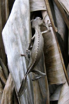 Leaf tail gecko