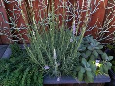 Oregano, Lavender and Sage perennial herb combo