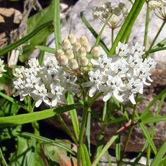 Asclepias angustifolia – Arizona Milkweed - Southeastern Arizona Wildflowers and Plants