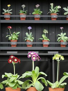 Auriculas on display at RHS Chelsea Flower Show 2014
