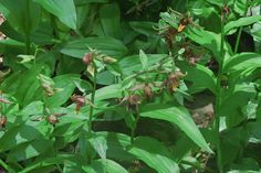 Epipactis gigantea—stream orchid—In times of drought enjoy these orchids in the wild, they like a lot of water.