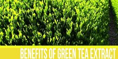 The Health Benefits of Green Tea Extracts