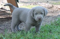 Silver Lab puppy-Louisiana Silver Labradors