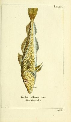 Gadus Callarisa, Der Dorsch (1784) - Gemeinnüzzige Naturgeschichte des Thierreichs : - Biodiversity Heritage Library