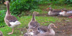 Stichwort Vogelgrippe - Tierseuche - Kann das Vogelgrippevirus den Menschen in Deutschland gefährlich werden? Unikosmos beantwortet die wichtigsten Fragen zum Thema.