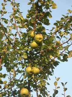 le poirier quel arbre fruitier choisir pour votre jardin famille notre temps terrasse. Black Bedroom Furniture Sets. Home Design Ideas