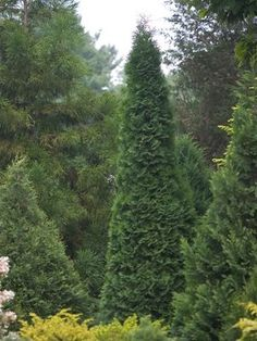 Thuja occidentalis 'North Pole' North Pole Arvorvitae  Maintains narrow columnar form without heavy trimming.  Extremely hardy, dark green foliage, resists winter burn.  Grows 10-15 ft tall