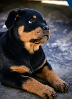 .#rottweiler_puppy ~ re-pinned by doggiechecks.com ~ follow us on our new…