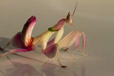 Louva-a-deus orquidea Exemplos para problematização de insetos ou de evolução