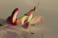 Orchid mantis' astonishing camouflage isn't especially orchid-like - To other insects, it looks like a generic flower.