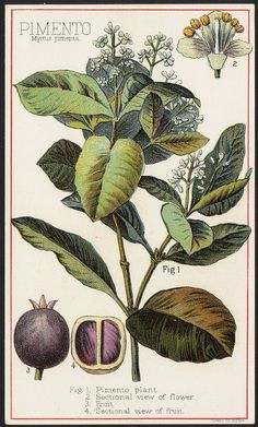 File name: 10_03_000029a Binder label: Food Title: Pimento, Myrtus pimenta [front] Created/Published: Boston : Forbes Co. Date issued: 1870 - 1900 (approximate) Physical description: 1 print : chromolithograph ; 15 x 9 cm. Genre: Advertising cards Subject: Spices; Plants Notes: Title from item. Statement of responsibility: Davis, Sacker & Perkins Collection: 19th Century American Trade Cards Location: Boston Public Library, Print Department Rights: No known restrictions.
