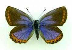 blue butterfly Reverdins blue Plebejus argyrognomon SET x1 A1- FM Lycaenidae bug | eBay