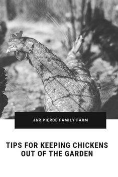 Want your chickens to stop getting in the garden? Are they destroying your plants? Consider these tips to keep them out - or to keep them in your garden without sacrificing your crops. Diy Herb Garden, Herb Garden Design, Garden Bar, Garden Edging, Garden Signs, Terrace Garden, Garden Ideas, Garden Sheds Uk, Raised Garden Beds