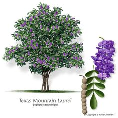 Texas mountain laurel... We had one of these in our yard in Alvin... They are beautiful and they smell like grape soda! :) I need another here... remember, the seeds are poisonous.