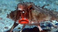 The red-lipped batfish is an unusual looking fish found on the Galapagos Islands. Scientists believe their colored lips are used to attract mates. They are terrible swimmers and use their pectoral fins to crawl along the ocean floor.