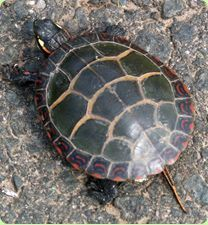 ♥ Pet Turtle ♥  Painted Turtle