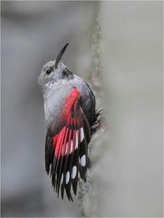 Wallcreeper, gorgeous wings!