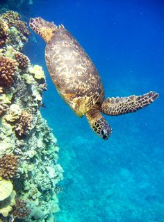 Green Sea creature Honu Turtle Diving In The Deep Blue Turquoise Underwater Ocean. My favorite animal!
