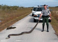 The largest Burmese python ever caught in Florida! It's the largest wild python captured in the Everglades of Florida, US scientists say. Python Bivittatus, Park Ranger Job, Snake In The Grass, Burmese Python, Everglades National Park, Florida Everglades, Reptiles And Amphibians, Sunshine State, South Florida