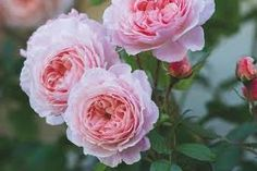 English Roses A Shropshire Lad - David Austin Roses. Very hardy. Zone or 8 as a climber. Almost thornless. Shropshire Lad Rose, Thornless Roses, David Austin Rosen, Rooting Roses, English Garden Design, Pink Petals, Princess Margaret, Gifts For Photographers, Charles Darwin