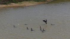 Pato al agua........la vida es para vivirla. En el llano Apureño hay un espectaculo.