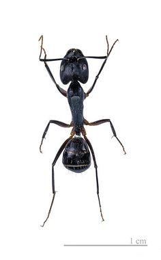 Camponotus fellah MHNT