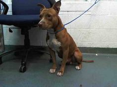 GONE --- RED (A1668057) I am a male red and white Pit Bull Terrier mix. The shelter staff think I am about 2 years old. I was found as a stray and I may be available for adoption on 12/28/2014. — hier: Miami Dade County Animal Services. https://www.facebook.com/urgentdogsofmiami/photos/pb.191859757515102.-2207520000.1419459548./892881210746283/?type=3&theater