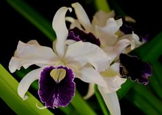 Orchid: Laelia purpurata - Flickr - Photo Sharing!