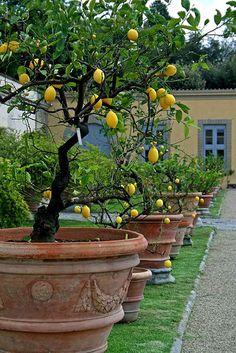 Potted-lemon-trees-Villa-Medici-di-Castello-Tuscany-Italy.jpg 464×695 pixels