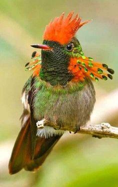 A 'Tufted Coquette' Hummingbird. Rare Birds, Exotic Birds, Colorful Birds, Exotic Pets, Most Beautiful Birds, Pretty Birds, Beautiful Pictures, Beautiful Creatures, Animals Beautiful