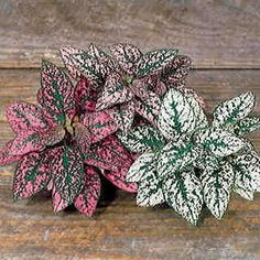 Splash Select Mix Polka Dot Seeds A Polka Dot Plant (Hypoestes) seed mix of white, pink, and red for Toxic Plants For Cats, Foliage Plants, Pink Polka Dots, Shade Garden, My Flower, Flower Pots, Trees To Plant, Indoor Plants, House Plants
