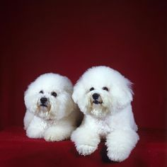 Two Bichon Frise Dogs Lying Down