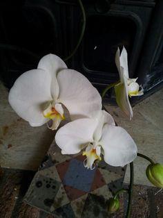 Super bloem 12 cm