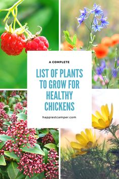 When planning a garden on your homestead, do you think about your chickens? You should! Chickens can benefit from plants in many ways. Click to see the complete list of plants and how they can create healthy chickens. #gardening #beginnergardener #getstartedgardening #growfood #gardeningtips #homesteading #growyourown #chickens #backyardchickens #sustainableliving #homestead #coop