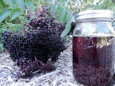 Natural Remedies For Cough It's Elderberry Time ~ Making Cough Syrup and Tincture Elderberry Cough Syrup, Elderberry Plant, Elderberry Juice, Elderberry Recipes, Elderberry Syrup Recipe Fresh, Herbal Remedies, Home Remedies, Natural Remedies, Cough Remedies