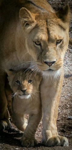 A Lioness ~ With Her Cub. (Photo By: Jacques Barbaix on - A Lioness ~ With Her Cub. (Photo By: Jacques Barbaix on Informations About A Lioness ~ With - Animals And Pets, Baby Animals, Cute Animals, Wild Animals, Nature Animals, Beautiful Cats, Animals Beautiful, Beautiful Family, Big Cats