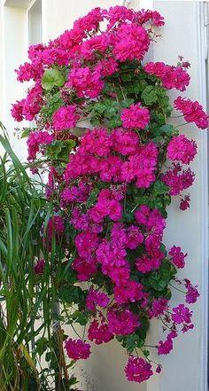 Trailing geranium---pretty like what I had in Germany!!