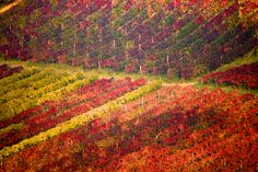***Autumn vineyards (Castelvetro Hills, Italy) by Francesco Riccardo Iacomino Love Photography, Landscape Photography, October Country, Napa California, Vitis Vinifera, Wine Country, Vineyard, Beautiful Places, Around The Worlds