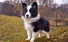 Scarica sfondi Shetland, Pastore, cane, cucciolo, carino animali, Sheltie