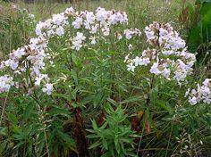 Мыльные растения Украины альтернатива мылу