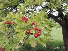 Hawthorn - bright red berries or haws . Viking Art, Celtic Art, Unique Gifts, Handmade Gifts, Red Berries, Bright, Seasons, History, Twitter