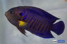yellowfin pigmy angelfish (Centropyge flavipectoralis), India