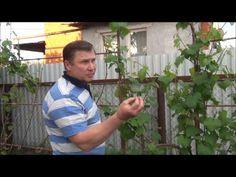 Как пасынковать виноград. Обсуждение на LiveInternet - Российский Сервис Онлайн-Дневников