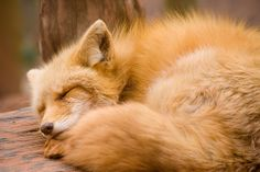 Red Fox by sangderenard